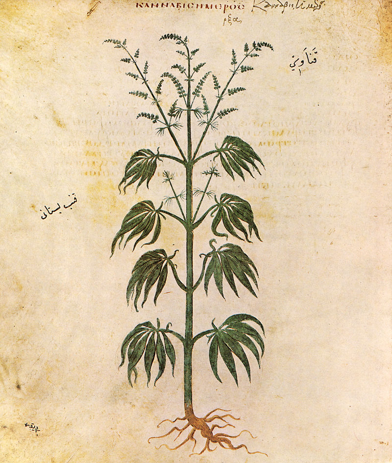 Cannabis sativa, illustration du Codex Vindobonensis de Dioscuride, 512.